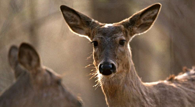 Why this deer disease could change the way Americans hunt forever